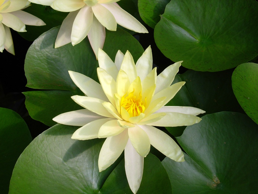 Lotus Flower_small